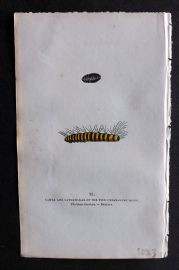 Captain Brown 1834 Hand Col Moth Print. Larva & Caterpillar of the Pink Underwing 72